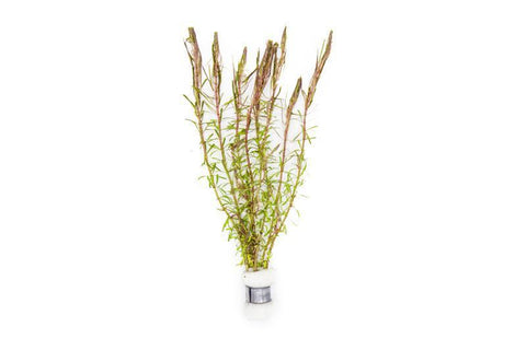 products/rotala-wallichii-11725967654993.jpg
