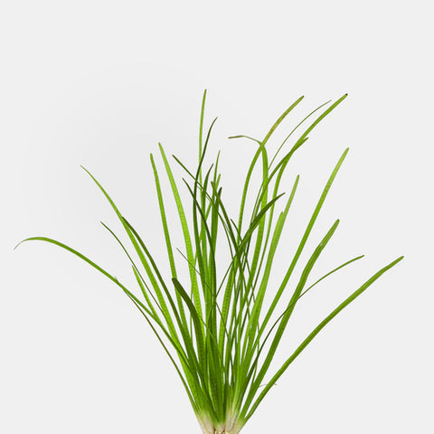 products/sagittaria_narrowleaf.jpg