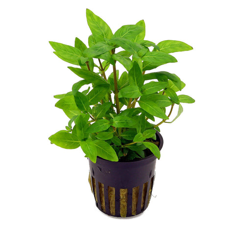 products/staurogyne-repens-topf.jpg
