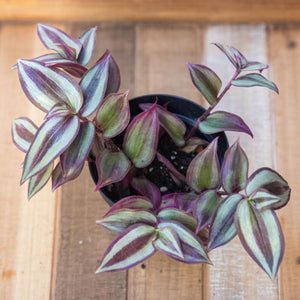 Tradescantia Zebrina - Sparkly Purple Variegated Plant