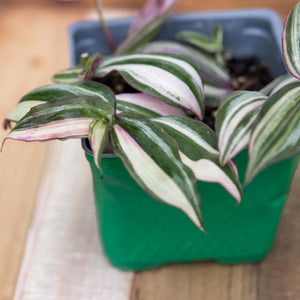 Tricolor Tradescantia Fluminensis Plant - purple and white leaves!