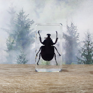 Rhinoceros Beetle in Resin Block