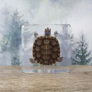 Tortoise in Resin Block