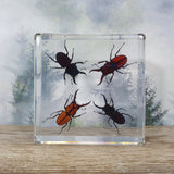 Four Stag Beetle Set in Large Resin Block