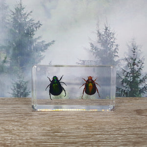 Two Beetles in Large Resin Block