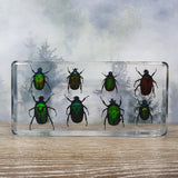 Eight Rose Chafer Beetle Set in 164mm Resin Block