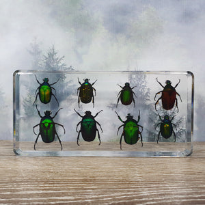 Eight Rose Chafer Beetle Set in Large Resin Block