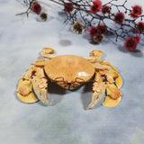 Common Moon Crab (Matuta Victor) Preserved Specimen