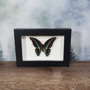 Graphium Sarpedon Blue Triangle Butterfly In Small Frame
