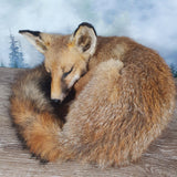 Taxidermy Sleeping Fox