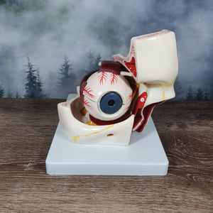 Vintage Anatomical Eye Model