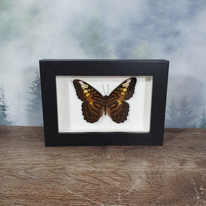 Parthenos Sylvia Clipper Butterfly In Small Frame
