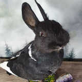 Black with White Rogue Taxidermy Bunny Bird