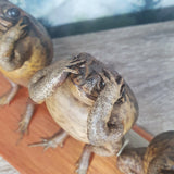 Three Evils Taxidermy Toads