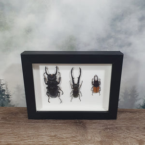 Three Stag Beetles In Frame