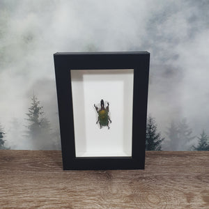 Lamprima Aldoiphinae Green Stag Beetle in Small Frame