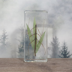 Stick Insect Mimesis Display in 138mm Resin Block