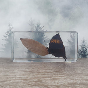 Withered Leaf Butterfly Mimesis Display in 138mm Resin Block