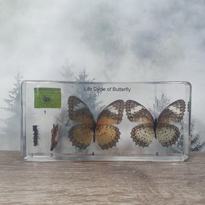 Butterfly Life Cycle Display in 164mm Resin Block