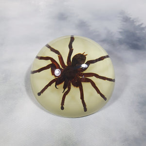 Tarantula Spider in 67mm Glow Resin Dome