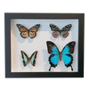 4 Mixed Australian Butterflies in Frame