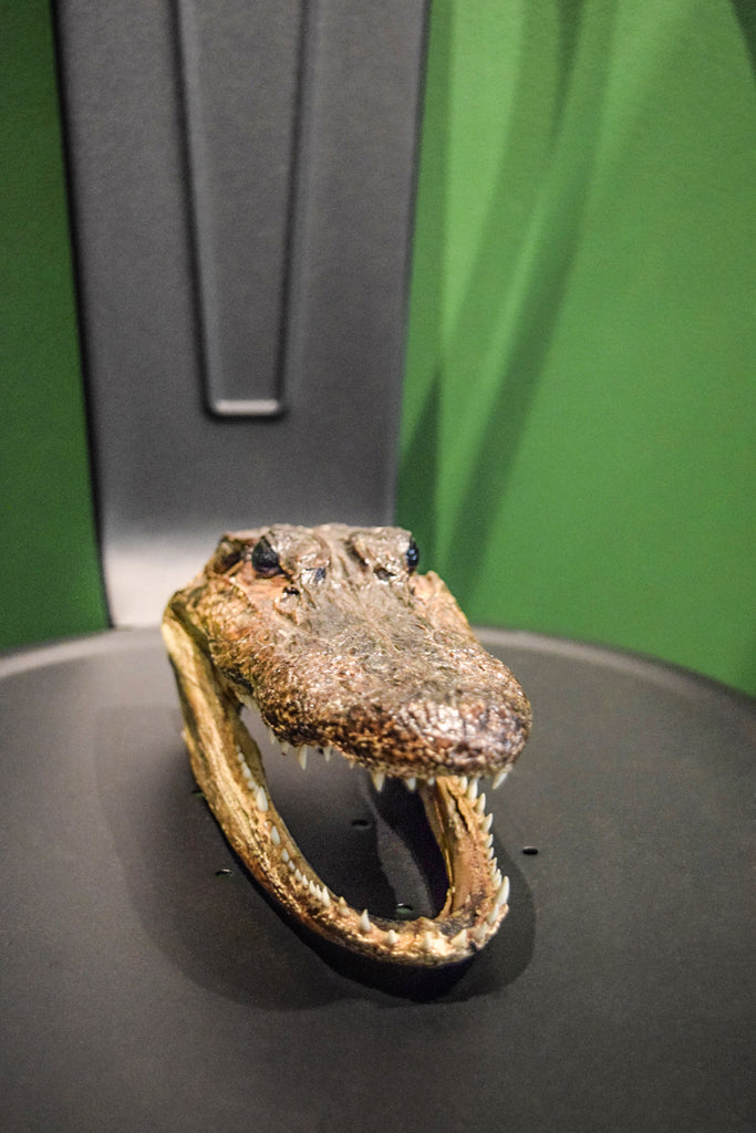 American Alligator Head