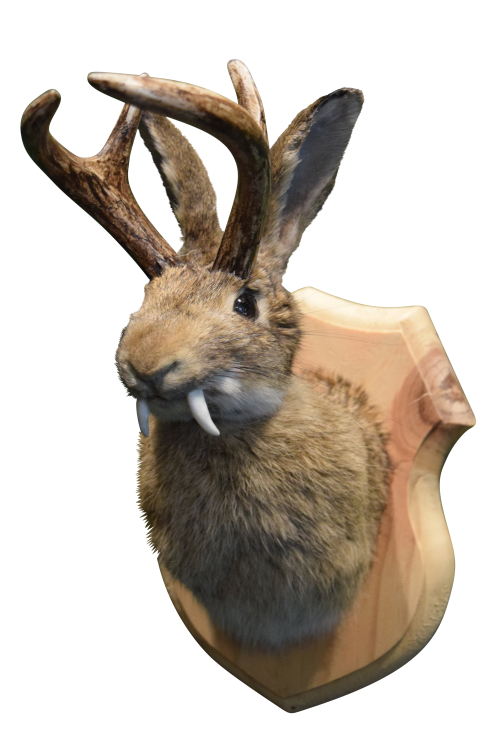 Genuine Taxidermy Were-Jackalope Mount