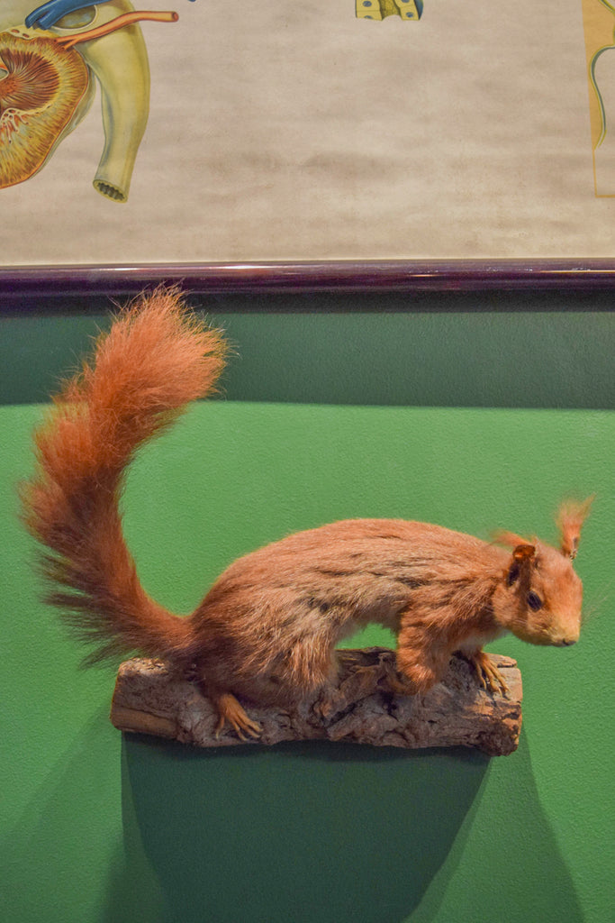 Vintage Eurasian Red Squirrel Taxidermy Mount Dated 1947
