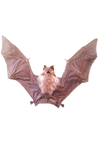 Diadem Leaf-Nosed Bat (Hipposideros Diadema) - Spread