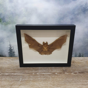 Cave Nectar Bat in Large Frame