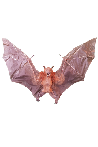 Short Nosed Fruit Bat (Cynopterus Brachyotis) - Spread