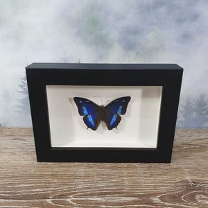 Aanaea Cynae Blue Sky Butterfly in Small Frame