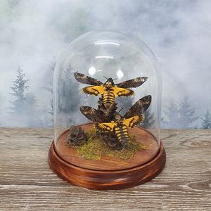 Death Head Moth Pair in Large Dome