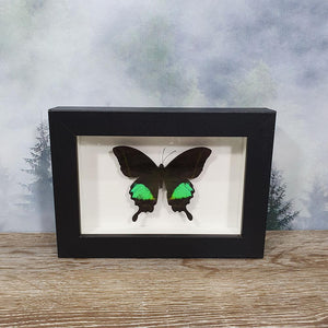 Papilio Paris Emerald Moon Butterfly In Small Frame