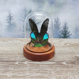 Emerald Moon Swallowtail in Small Dome
