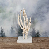 Human Hand Anatomical Model