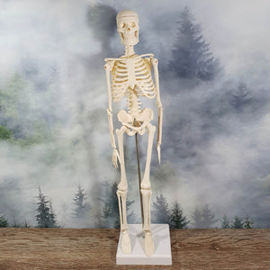45cm Human Skeleton Anatomical Model