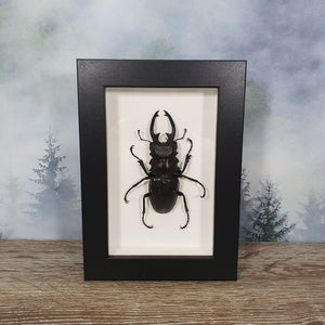 Odontolabis Black Stag Beetle in Frame