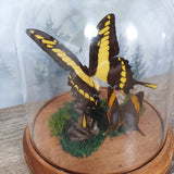 Papilio Thoas King Swallowtail with Corinna Butterfly in Large Dome