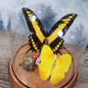 Papilio Thoas King Swallowtail with Apricot Sulphur in Large Dome