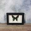 Urania Leilus Peacock Moth In Small Frame