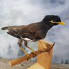 Taxidermy Miner Mynah Bird