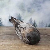 Taxidermy Sleeping Pigeon