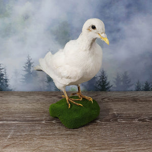 Taxidermy White Pigeon