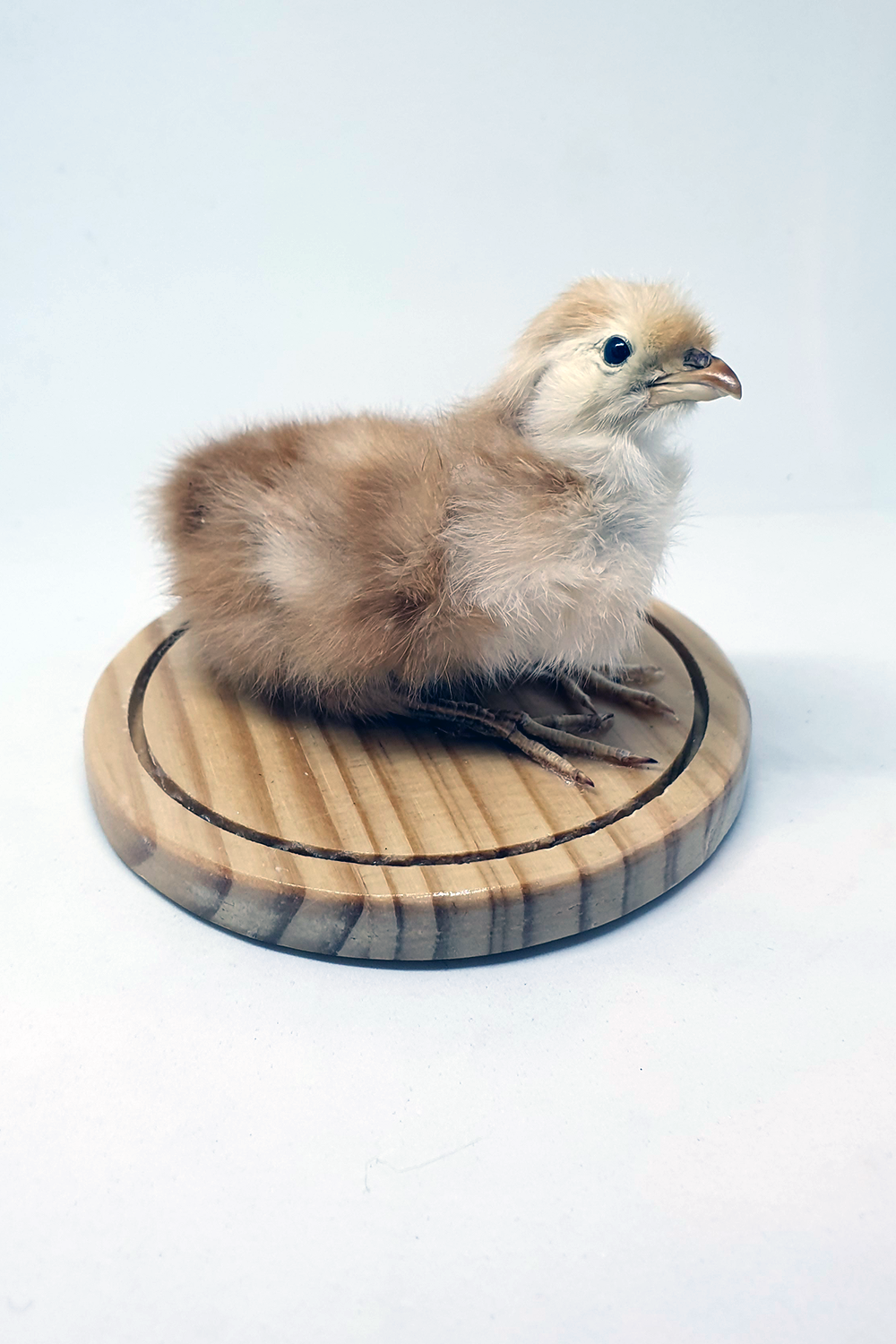 Taxidermy Chick on Wood Base