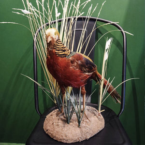 Golden Pheasant Taxidermy Mount