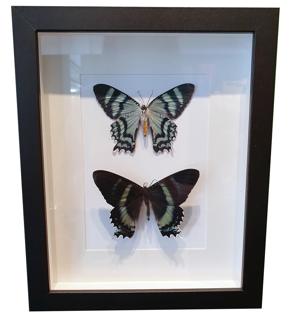 Alcides Orontes Zodiac Moth Pair in Large Frame