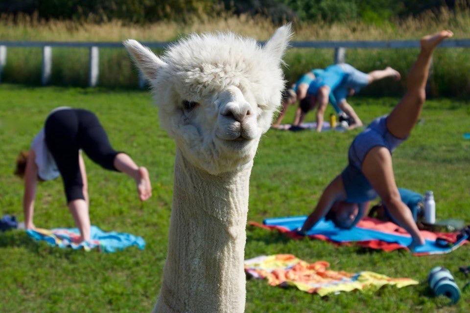 Yoga with Alpaca