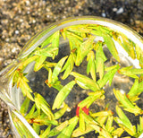 2020 Early Spring Long Jing Tea ( Dragon Well ) - Fine Grade