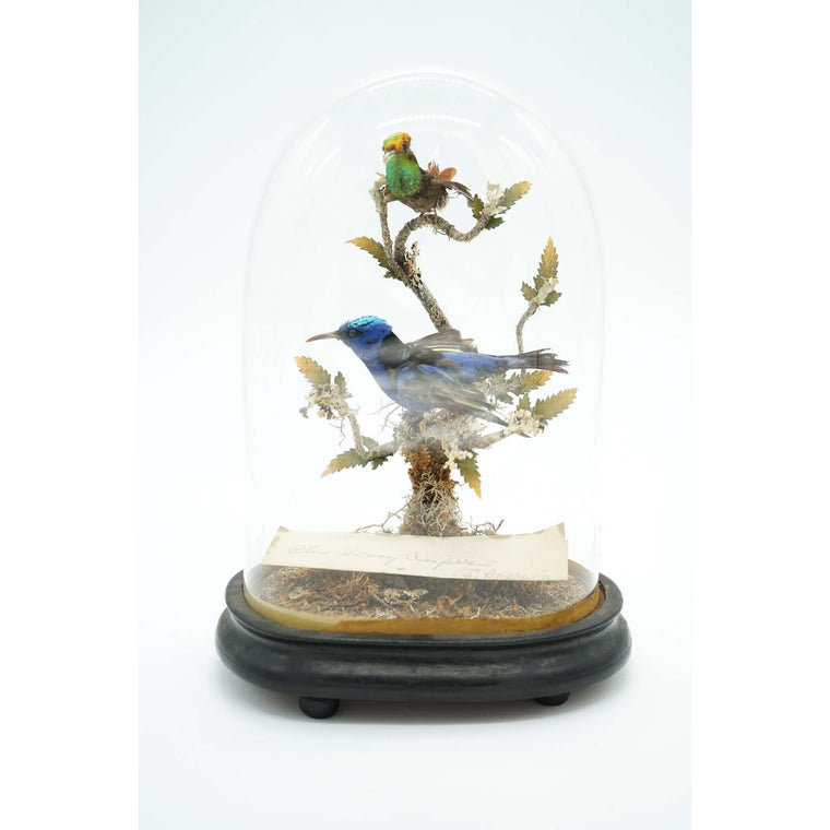 Rare Victorian Taxidermy Blue Honeycreeper & Topaz Hummingbird Mounted on Wooden Base